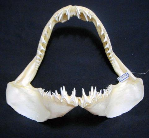 Shark Teeth Jaws Taxidermy