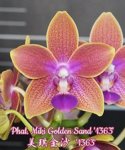 Phal. Miki Golden Sand