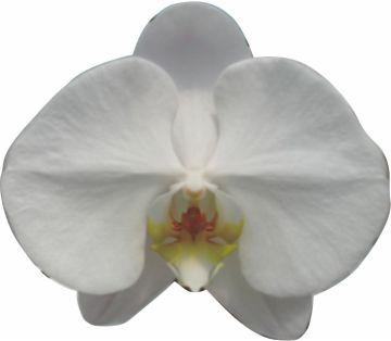 Phalaenopsis, 胡蝶蘭, CH26_P. Sogo Yukidian, V3
