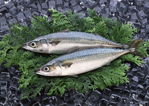 FROZEN SPOTTED MACKEREL