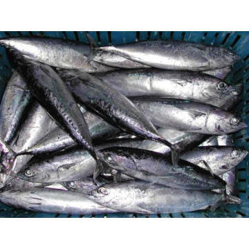Good quality Frozen bullet tuna