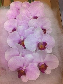 how to cut an orchid stem to rebloom