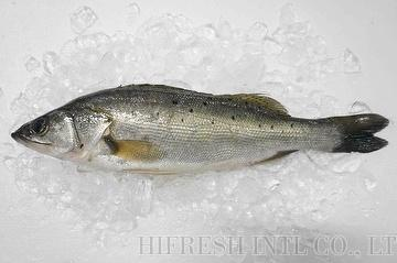 Japanese Sea bass (Lateolabrax japonicus)
