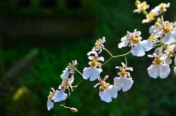 Oncidium ( white Snow)