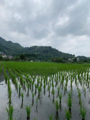 Champion Organic Rice