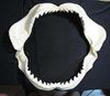 Tiger Shark Teeth Jaws Taxidermy