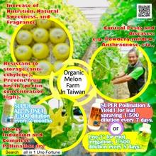 Organic Melon Farm In Taiwan
