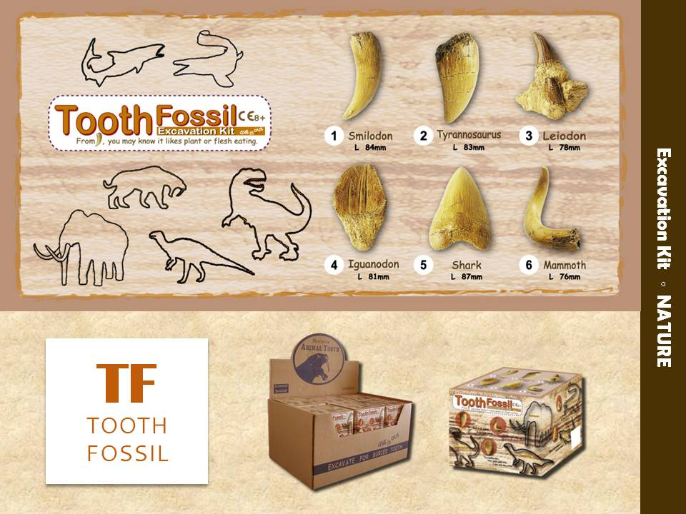 Taiwan [ Tooth Fossil ] EXCAVATION KIT / Educational Toy / Dig It