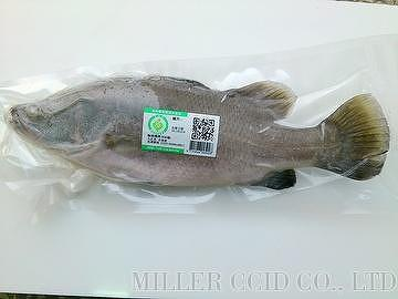 Frozen Barramundi - Barramundi Perch, Asian Seabass, Giant Perch, Palmer, Cockup, Bekti, Nairfish, Silver Barramundi