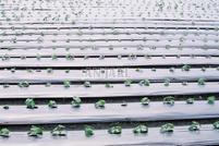 Silver-black mulch film for weeds, insecticides prevent