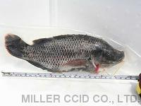 Tilapia Whole Round Vacuumed