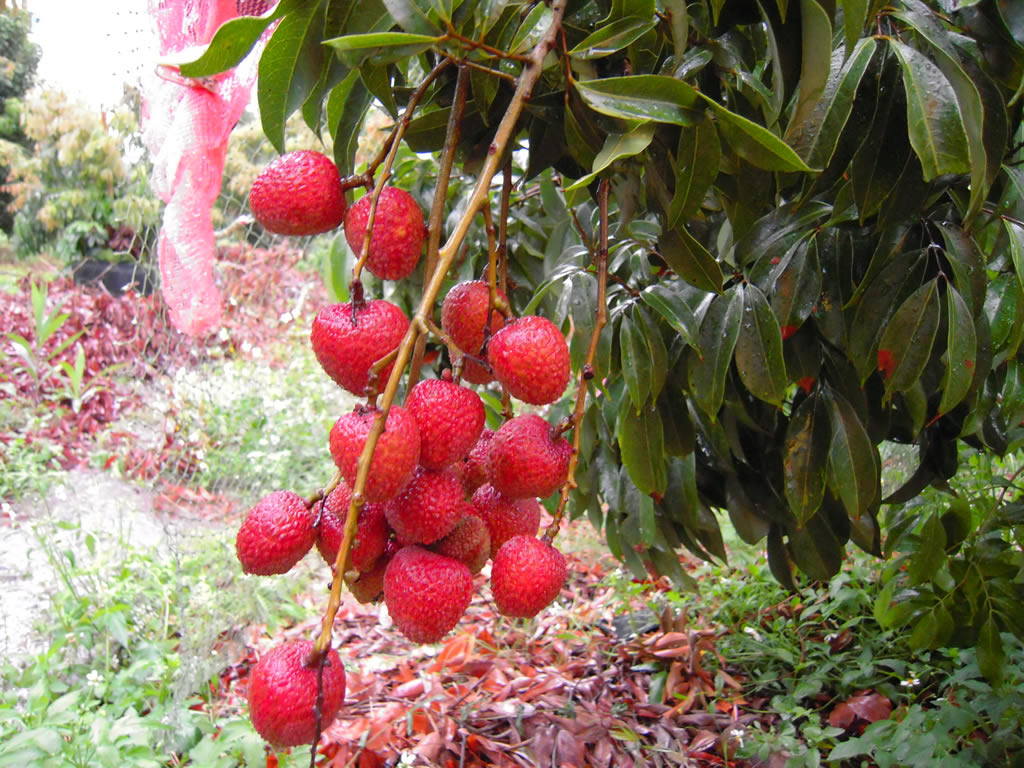 Taiwan Litchi, Lychee, Lechee, Litchi Fruit | MILLER CCID CO