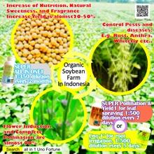 Organic  Soybean   Farm  In Indonesia