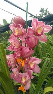 OrchidCymbidium Pink Flowers