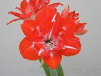 Amaryllis TSS No.2: Red Splendor