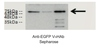 Anti-EGFP Sepharose Purification Kit