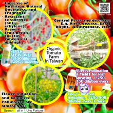 Organic Tomato Farm In Taiwan