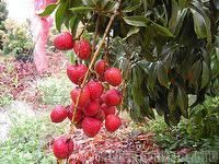 Taiwan Litchi, Lychee, Lechee, Litchi Fruit Miller CCID