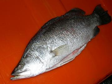 Taiwan barramundi asian sea bass giant sea perch g s for Ocean perch fish